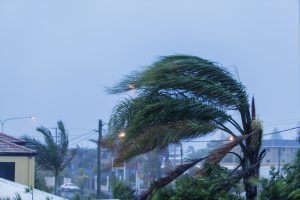 Palm Tree during Hurricane