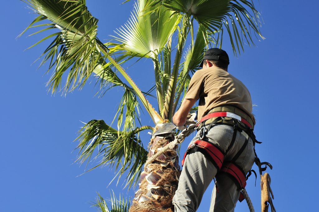 An arborist Pruning a Palm Tree